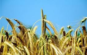 Soğuk iklime en dayanıklı tahıl çavdar